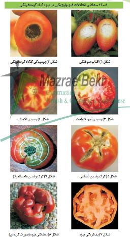 افات و بیماریهای گوجه گلخانه ای 2 گوجه فرنگی گلخانه ای – کاشت ، داشت ، برداشت ، صادرات گوجه فرنگی گلخانه ای – کاشت ، داشت ، برداشت ، صادرات                                                           2