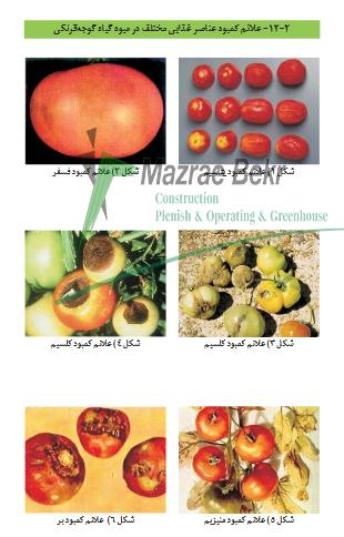گوجه فرنگی گلخانه ای – کاشت ، داشت ، برداشت ، صادرات گوجه فرنگی گلخانه ای – کاشت ، داشت ، برداشت ، صادرات