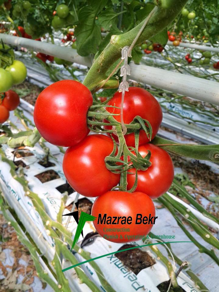 کشت گوجه فرنگی گلخانه ای گوجه فرنگی گلخانه ای – کاشت ، داشت ، برداشت ، صادرات گوجه فرنگی گلخانه ای – کاشت ، داشت ، برداشت ، صادرات                                              1