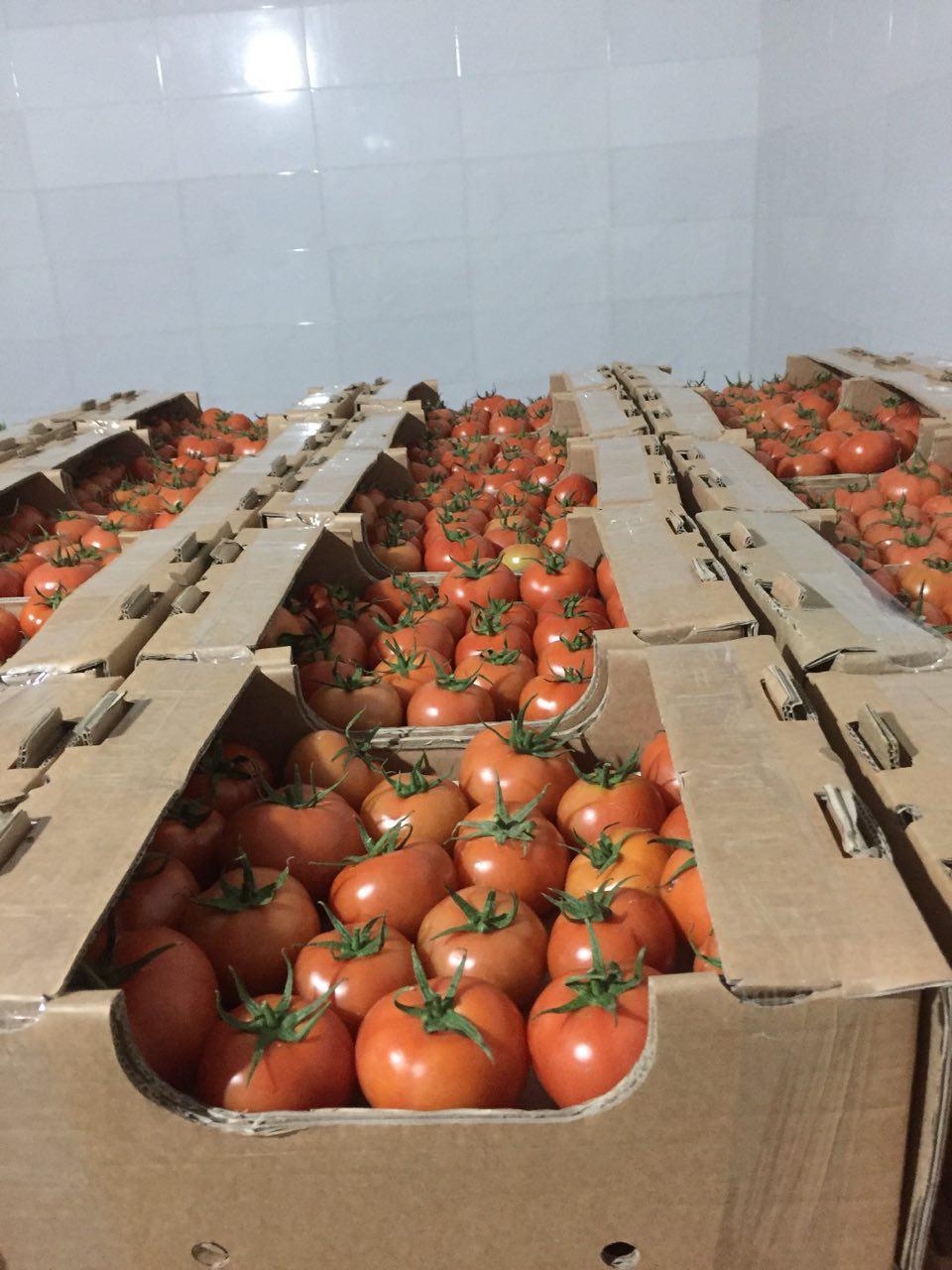 گوجه فرنگی گلخانه ای – کاشت ، داشت ، برداشت ، صادرات گوجه فرنگی گلخانه ای – کاشت ، داشت ، برداشت ، صادرات                                       2