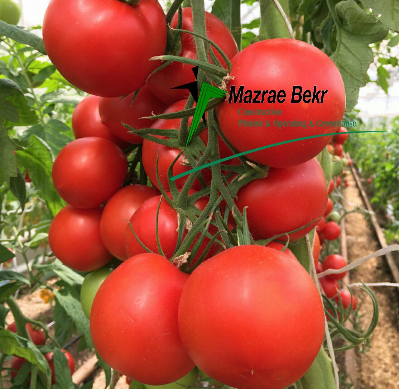 گوجه فرنگی گلخانه ای – کاشت ، داشت ، برداشت ، صادرات گوجه فرنگی گلخانه ای – کاشت ، داشت ، برداشت ، صادرات                            1