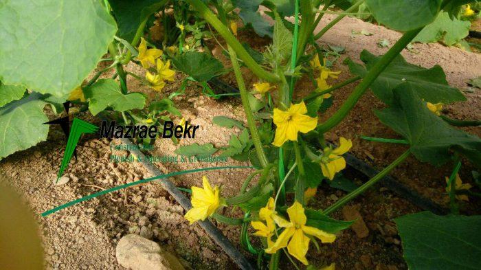 گلخانه خیار درختی کشت خیار گلخانه ای کشت خیار گلخانه ای                      e1515353297953